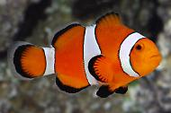 Ocelaris Clownfish