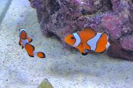 Ocellaris Clownfish