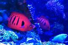 Flame Angelfish@Christmas