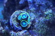Radioactive Dragon Eye Zoanthid