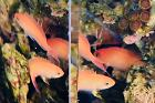 Stocky Anthias Thumbnail