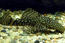 Bristlenose catfishes