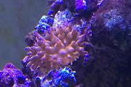 Rose bubble tip anenome