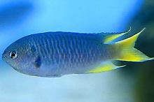Yellow Tail Chromis