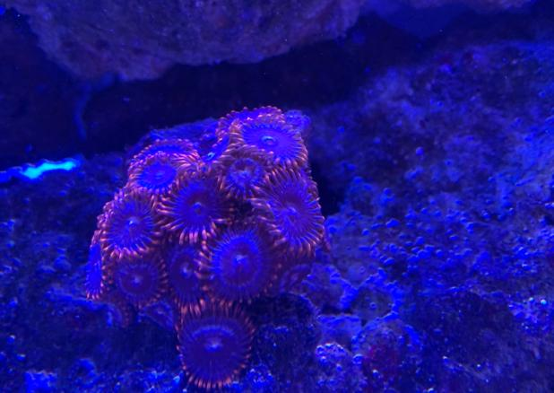 Fire and Ice Zoanthid