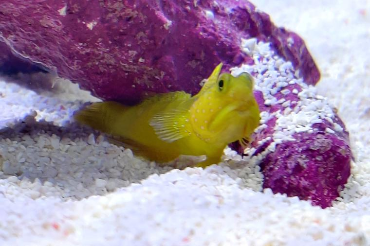 Yellow watchman goby Thumbnail
