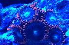 Fire and ice zoas Thumbnail
