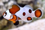 Mocha Orange Storm Clownfish
