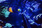 Queen Angelfish (juvenile)