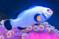 Wyoming White Clownfish