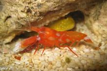 Japanese Snapping Shrimp