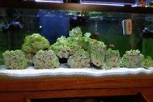 75 gallon reef tank Thumbnail