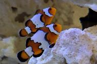 Fancy Snowflake Ocellaris Clownfish