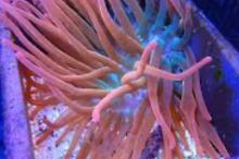 Rainbow Bubbletip Anemone