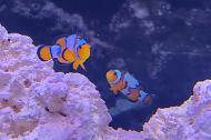 Extreme snowflake clown fish