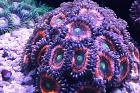 Ever lasting Gobstopper Zoa