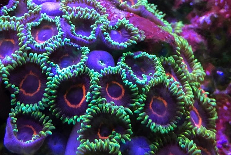 Purple Hearts Zoa