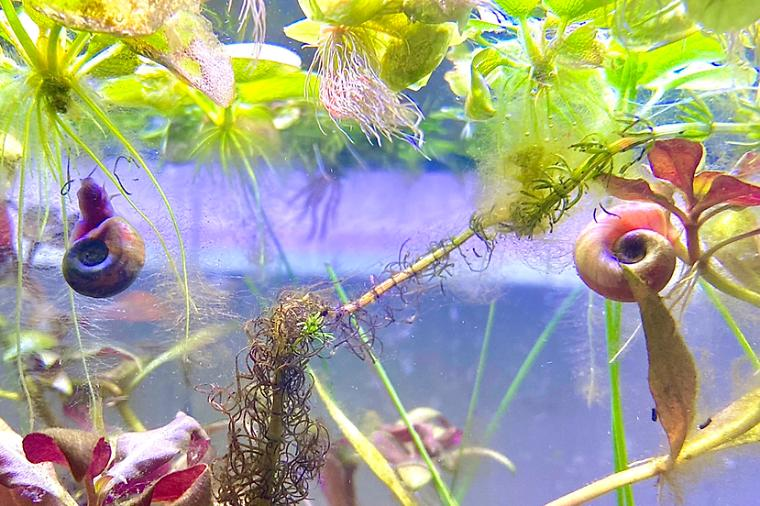 Blue and Pink Ramshorn Snails Thumbnail