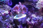 Red Planet Acropora Thumbnail