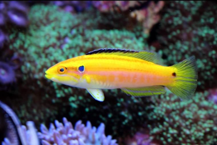 Yellow Candy Hogfish Thumbnail