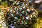 Zoanthid (Ring of Fire) Thumbnail