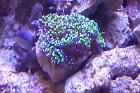 Tooth Coral Thumbnail
