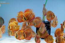 Alenquer Discus Biotope Thumbnail