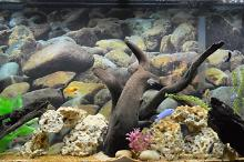 African Cichlid Tank - (Freshwater) Thumbnail