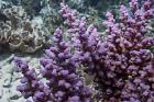 Purple Monster Acropora