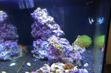 First saltwater: Fluval Evo 13.5 Thumbnail