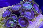 Blow Pop Zoanthid Thumbnail