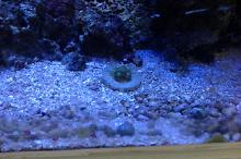 Radioactive Dragon Eyes Zoa
