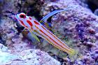 Yasha White Ray Shrimp Goby Thumbnail
