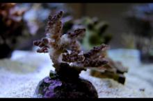 Recovery Acropora - Rescue Coral