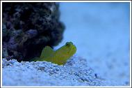 Yellow Watchman Goby