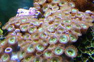 Zoanthid - Green/brown polyps