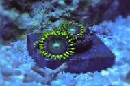 Zoanthid  - Radioactive Dragon Eyes