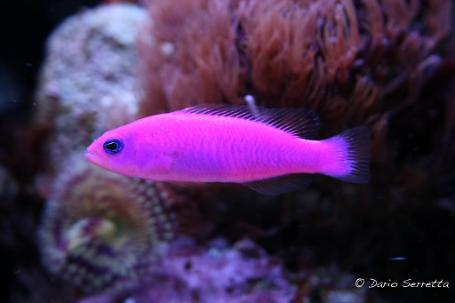 Purple Dottyback
