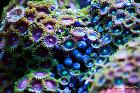 Assorted Zoas Thumbnail