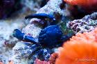 Black Emerald Crab Thumbnail