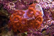 Fiji Zoanthids - Super Orange