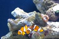 Ocellaris Clownfish breeding pair
