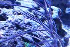 Blue Bipinate Sea Fan Thumbnail