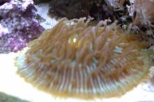 Plate Coral, Long Tentacle