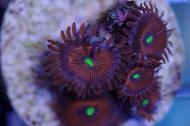 Red People Eater Zoanthid