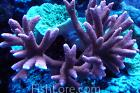 Branched Montipora Coral Thumbnail