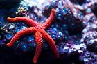 Conical Spined Sea Star