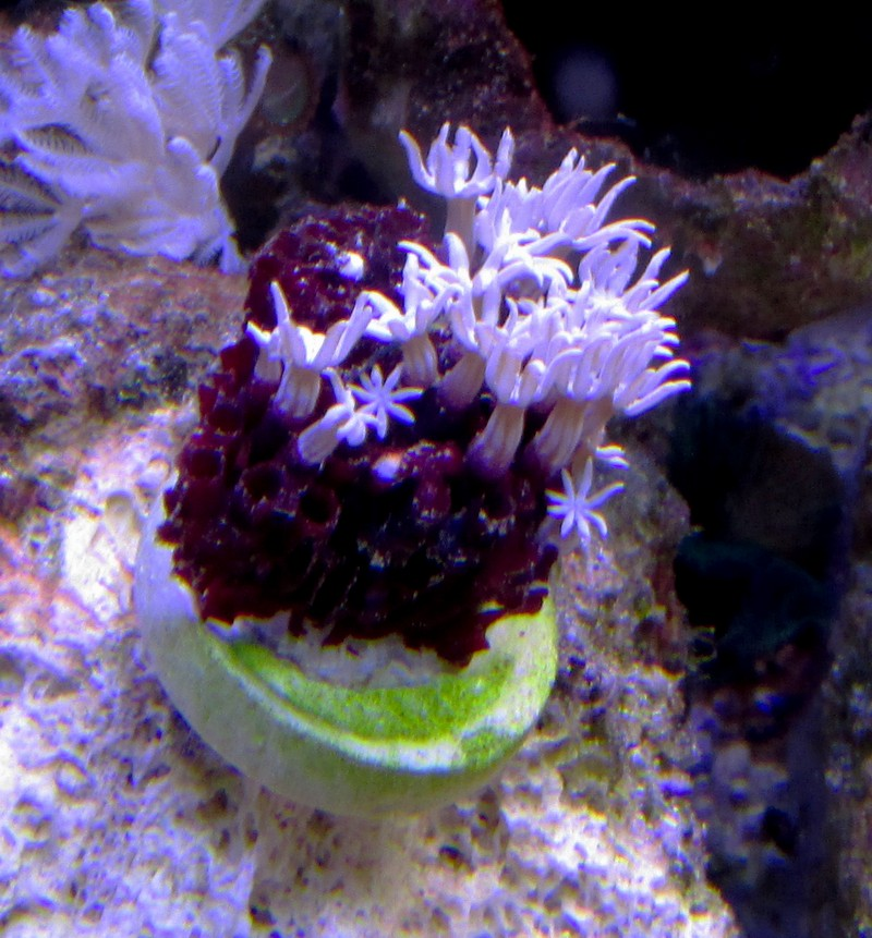 Plug Stock News >> AquaticLog stock by hnurge: Added Pipe Organ Coral ...