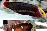 African Clown Wrasse