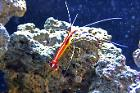 Red Line Cleaner Shrimp Thumbnail